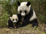 Giant Panda (Ailuropoda Melanoleuca) Adult, Wolong Nature Reserve, China Photographic Print by Katherine Feng