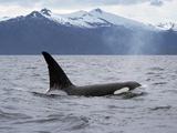 Killer Whale (Orcinus Orca) Surfacing Beneath Mountain Range, Inside Passage, Alaska Reproduction photographique par Konrad Wothe