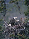 Bald Eagle (Haliaeetus Leucocephalus) Pair on Nest, Alaska Fotoprint av Michael S. Quinton