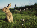 European Rabbit (Oryctolagus Cuniculus) in a Meadow, France Fotoprint av Cyril Ruoso