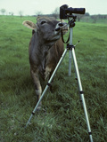 A Curious Brown Swiss Cow Investigates a Camera on a Tripod Fotografisk trykk av Paul Damien