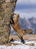 Red Fox (Vulpes Vulpes) Smelling Rock, North America Reproduction photographique par Konrad Wothe