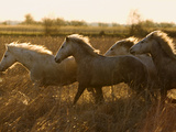 Camargue Horse (Equus Caballus) Group Running at Sunset, Camargue, France Reproduction photographique par Konrad Wothe