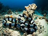 A Banded Sea Snake, Laticauda Colubrina, Sleeps on the Ocean Floor Photographic Print by Mauricio Handler