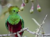 Close Up of a Resplendent Quetzal, Pharomachrus Mocinno, in a Tree Trykk på strukket lerret av Roy Toft