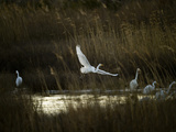 Egrets Along Water's Edge Fotografisk tryk af Karen Kasmauski