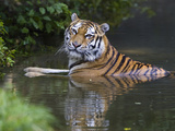 Siberian Tiger (Panthera Tigris Altaica) Bathing, Native to Siberia Reproduction photographique par Konrad Wothe