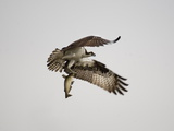 An Osprey with a Freshly Caught Fish Photographic Print by Aaron Huey