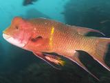 A Small Female and a Big Male Streamer Hogfish, Bodianus Diplotaenia Photographic Print by Mauricio Handler