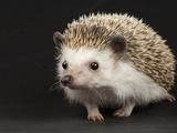An African Pygmy Hedgehog, Atelerix Albiventris Fotografisk tryk af Joel Sartore