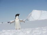 An Adelie Penguin, Pygoscelis Adeliae, on Fast Ice in the Weddell Sea Photographic Print by  Keenpress