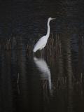 An Egret Standing in Rippled Water and Reflections Fotografisk tryk af Karen Kasmauski