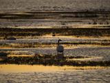 A Backlit View of a Canada Goose Foraging Along Water's Edge Fotografisk tryk af Karen Kasmauski