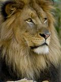 Portrait of a Resting Male African Lion, Panthera Leo Premium fototryk af Paul Sutherland
