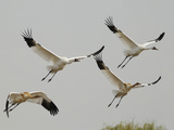 Whooping Crane Adults and Twin Chicks Taking Off in Wintering Grounds Stampa fotografica di Klaus Nigge
