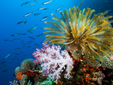 Chrinoid and a Soft Coral Tree Decorate the Edge of a Coral Reef Photographic Print by Mauricio Handler