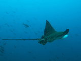 An Eagle Ray, Aetobatus Narinari, Near Bartolome Island Photographic Print by Mauricio Handler