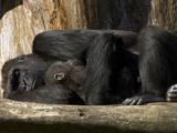 Endangered Western Lowland Gorilla Family, Gorilla Gorilla Gorilla Photographic Print by Paul Sutherland