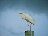 An Egret on a Pier in Key Largo, Florida Fotografisk tryk af Karen Kasmauski