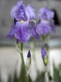 Irises Blooming in a Yard in Durango, Colorado Reproduction photographique par Scott Warren