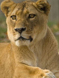 Portrait of a Female African Lion, Panthera Leo Photographic Print by Paul Sutherland