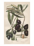 Lithograph of Olives by DG Passmore