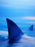 Shark Fins Cutting Surface of Water Fotografie-Druck von Randy Faris