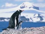 Mother and baby gentoo penguins Fotografie-Druck von Kevin Schafer