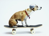 Dog with Helmet Skateboarding Fotografisk trykk av Chris Rogers