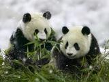 Giant Panda Cubs in Snowfall Fotografie-Druck von Keren Su
