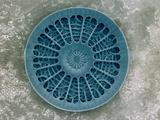 Microscopic View of Diatom Fotografisk tryk af Jim Zuckerman