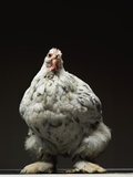 Chicken Photographic Print by Adrianna Williams