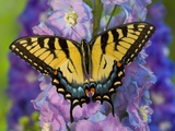 Female Eastern Tiger Swallowtail Butterfly on Delphinium Fotografisk tryk af Darrell Gulin