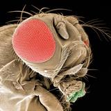 Head of a Fruit Fly Fotografie-Druck