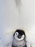 Emperor Penguin and Chick in Antarctica Fotografie-Druck von Paul Souders