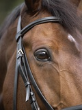 Bay Horse in Bridle Photographic Print