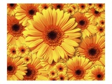 Sun flowers Lámina giclée por Matthias Kulka