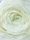 Close-up of White Flower Fotografisk trykk av Clive Nichols