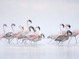 Lesser Flamingoes in Fog Photographic Print by Arthur Morris
