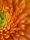Orange Gerbera Daisy Trykk på strukket lerret av Clive Nichols