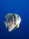 Teira Batfish at Manta Reef Fotografisk tryk af Paul Souders