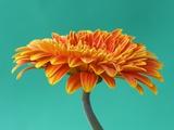 Orange Gerbera Daisy Fotografisk trykk av Clive Nichols