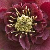 Close-Up of Lenten Rose Fotografisk tryk af Clive Nichols