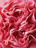 Close-Up of Pink Carnation Fotografisk trykk av Clive Nichols