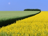 Barley Next to Blooming Canola Plants Photographic Print by Dave Reede