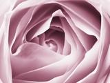 Close-up View of Pink Rose Fotografisk trykk av Clive Nichols