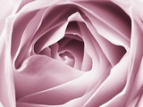 Close-up View of Pink Rose Photographic Print by Clive Nichols
