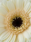 White Gerbera Daisy Fotografisk trykk av Clive Nichols