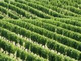 Vines in Vineyard Fotoprint van Tibor Bognár