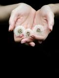Handful of Dandelions Fotografisk tryk af Elisa Lazo De Valdez